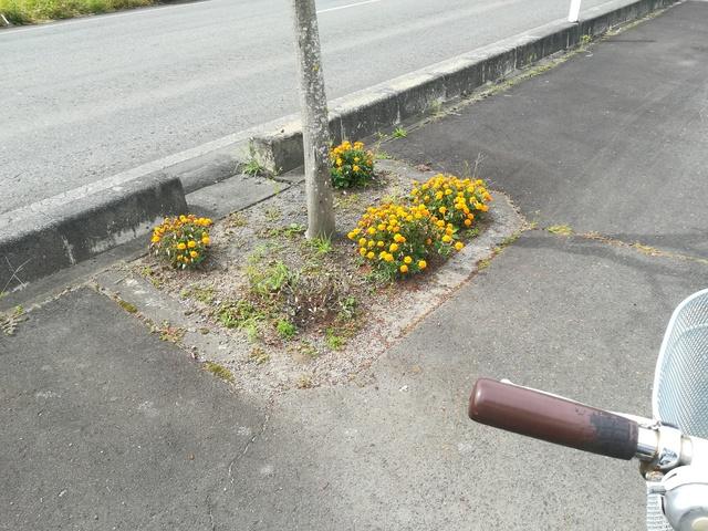 街路樹の下に咲くマリーゴールドの画像