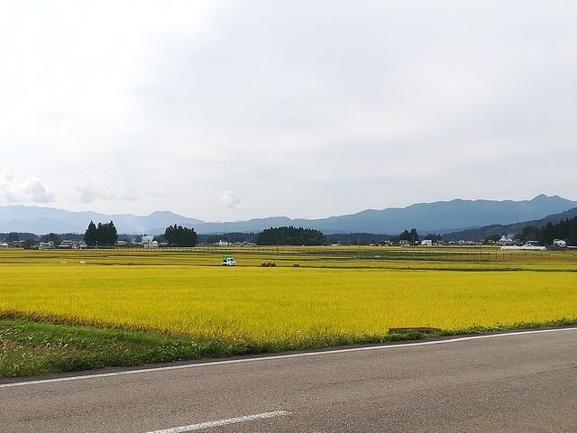 黄金色に色づく稲の画像